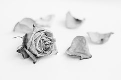 Withered rose and petal. Black and white. Withered rose and petal. Black and white photo Royalty Free Stock Photo