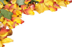Withered rose petals. Background with colorful wilted rose petals Stock Photos