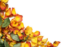 Withered rose petals. Background with colorful wilted rose petals Royalty Free Stock Image