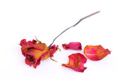 A withered rose and petals over white background Royalty Free Stock Image