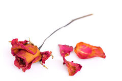 A withered rose and petals over white background Royalty Free Stock Images