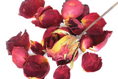A withered rose and petals on white background Stock Photography