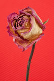 Withered rose on red Stock Photography