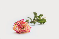 Withered rose Stock Images