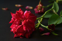 Withered rose. Stock Photos
