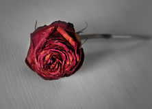 Withered rose thrown cruel hand. Lonely withered rose thrown cruel hand Royalty Free Stock Image