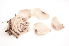 Withered rose on white. Withered rose and petal. sepia photo Stock Photo