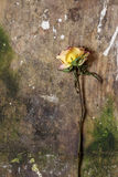 Withered rose on wood Stock Photos