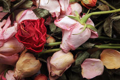 Withered roses Royalty Free Stock Image