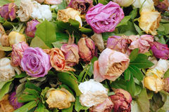 Withered roses royalty free stock photo