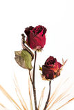 Withered roses Stock Photography