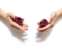 Withered roses in the hands Stock Images