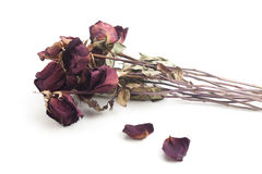 Withered roses Stock Image