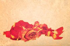 Withered roses and petals over vintage grungy background. Stock Images