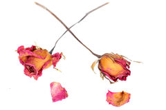 Withered roses and petals over white background Royalty Free Stock Photo