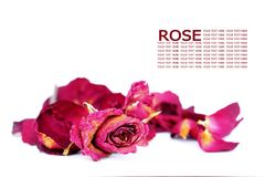 Withered roses and petals over white background with sample tex Stock Photo
