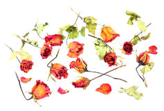 Withered roses and petals scattered on white background.  Royalty Free Stock Photos