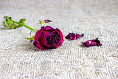 Withered s'est fané des roses Image stock