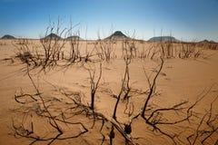 Withered shrubs in desert. Withered shrubs in black desert, western desert, Egypt, Africa royalty free stock photography