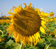 Withered sunflower Stock Photos