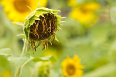 Withered Sunflower Royalty Free Stock Photography