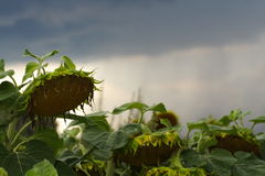 Withered sunflower Royalty Free Stock Photo