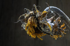 Withered sunflower against dark brown background with copy space Stock Photos