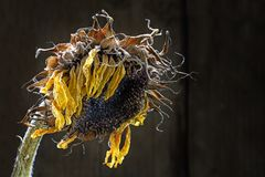 Withered sunflower against dark brown background with copy space Royalty Free Stock Photography