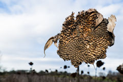 Withered sunflower field Royalty Free Stock Photos