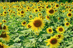 Withered sunflower field Royalty Free Stock Photography