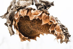 Withered sunflower head in winter Stock Photos