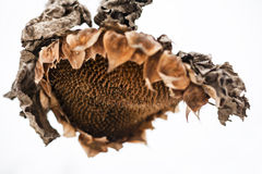 Withered sunflower head in winter Stock Image