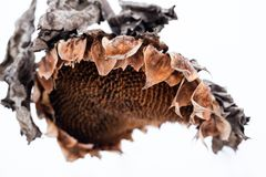 Withered sunflower head in winter Stock Photo