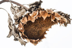 Withered sunflower head in winter Royalty Free Stock Image