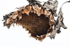 Withered sunflower head in winter Stock Images