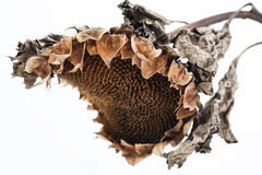 Withered sunflower head in winter Royalty Free Stock Photos