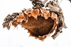 Withered sunflower head in winter Royalty Free Stock Photography