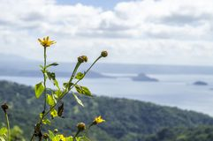 Withered Sunflower on Hilltop Overlooking Volcano Lake Royalty Free Stock Photo