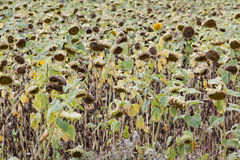 Withered Sunflowers Royalty Free Stock Images