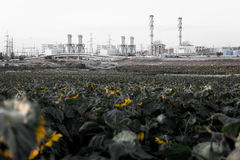Withered sunflowers field industrial chimney smoking environment Stock Image