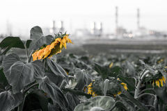 Withered sunflowers field industrial chimney smoking environment Royalty Free Stock Photo
