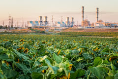 Withered sunflowers field industrial chimney smoking environment Royalty Free Stock Images