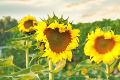 Withered sunflowers. With sunset sky background Royalty Free Stock Photography
