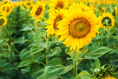 Withered sunflowers. With sunset sky background Stock Photos