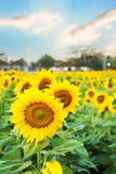 Withered sunflowers. With sunset sky background Royalty Free Stock Image