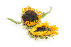 Withered sunflowers  on Whitebackground,isolated. Royalty Free Stock Image