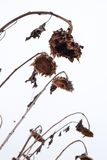 Withered sunflowers in winter Stock Photo