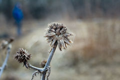 Withered thistle flower. Round, blue sign of a walkway for bicycles and pedestrians on a cloudy background Royalty Free Stock Photos