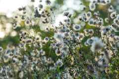 Withered thistle flowers in sunset light royalty free stock images