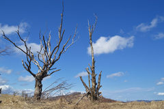 Withered Tree Stock Photography